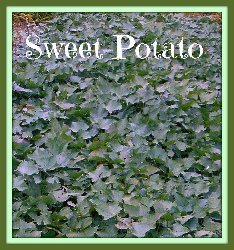Sweet Potato fr