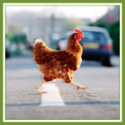 cossing chicken 400