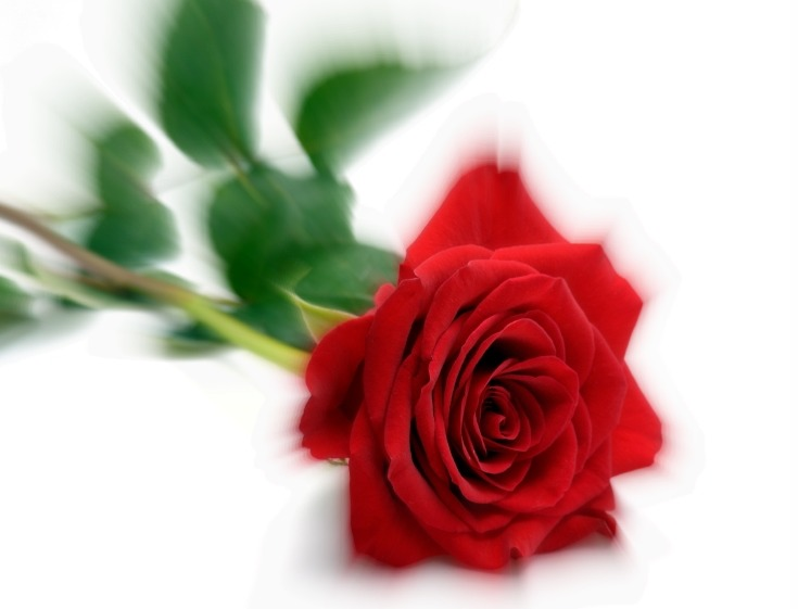 red_rose_rent-1