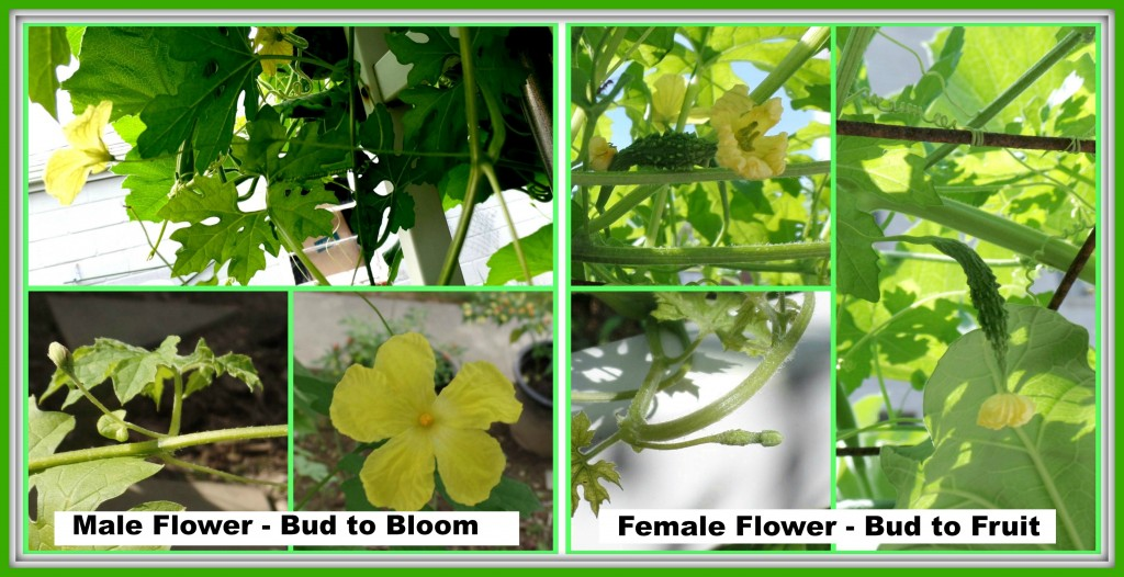Collage on the left is how the male flower looks like from bud to full bloom, clockwise. Whereas, the right collage consists of pictures of the female flower from bud stage to fully formed fruit.